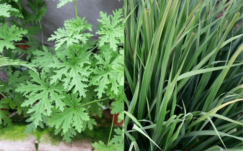 Citronella Plant and Lemongrass