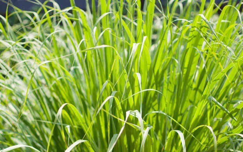 Citronella Plant or Lemongrass