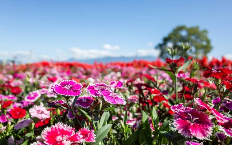How Do You Treat Dianthus Poisoning