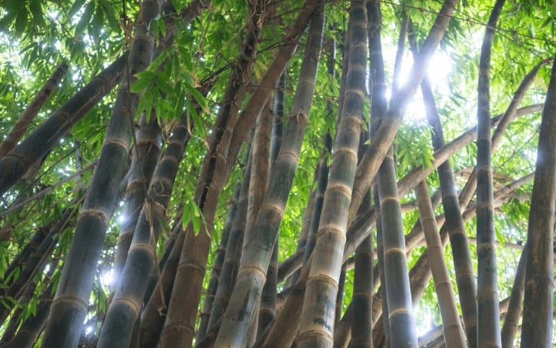 Indian Timber Bamboo