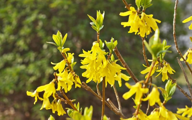 what is the best time to prune Forsythia plant