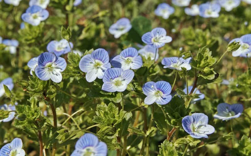 What Can Speedwell Be Used For