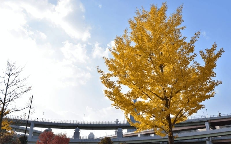 What Are Ginkgo Trees