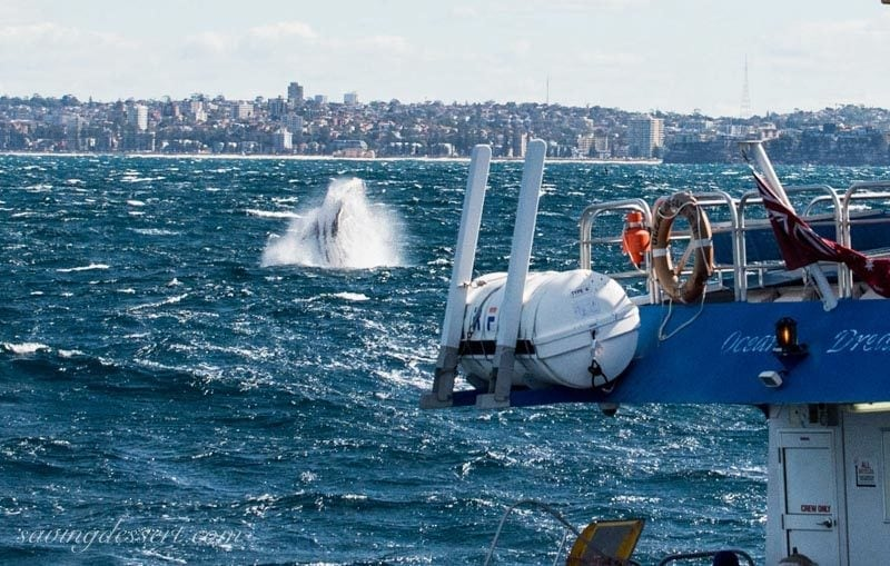 Whale fin splashing off the coast of Sydney Australia with cliffs and a view of Sydney in the background