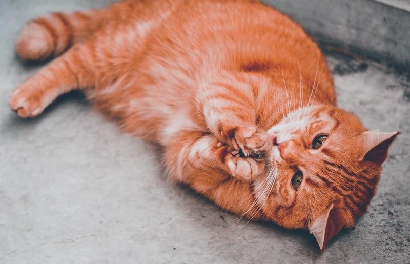 Photo of a cat high on catnip
