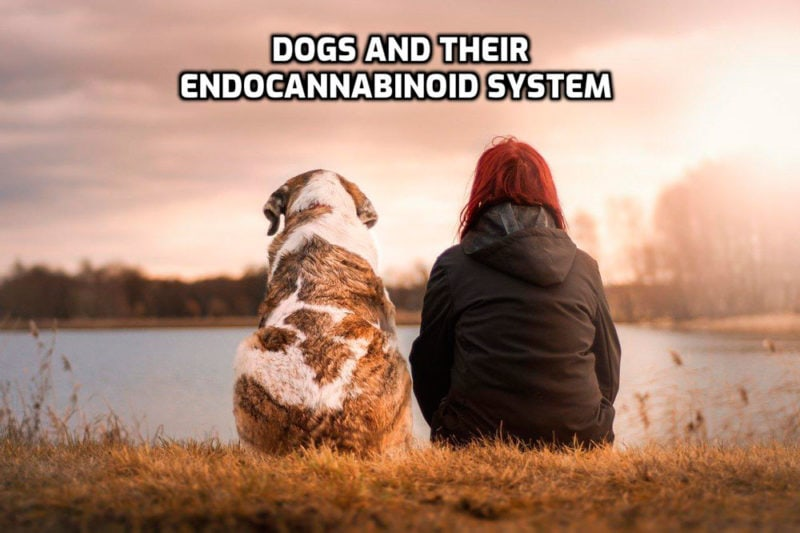 CBD for Dogs and Their Endocannabinoid System