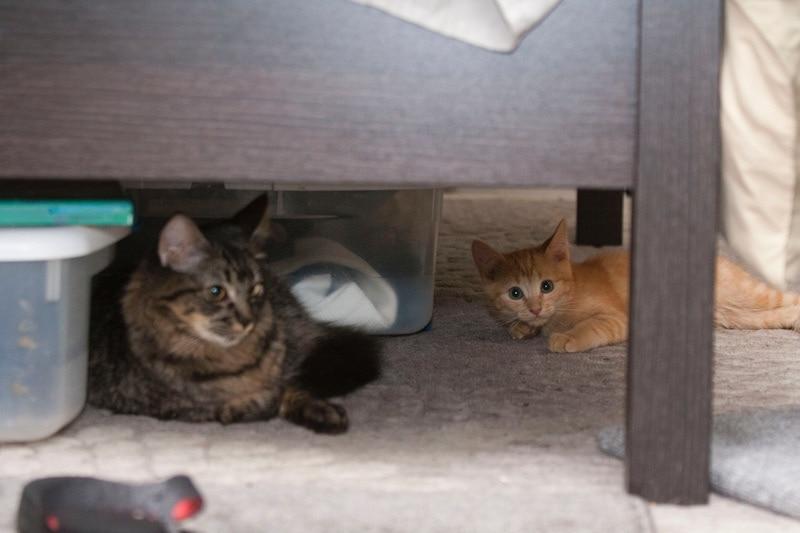 Pregnant cat Hiding