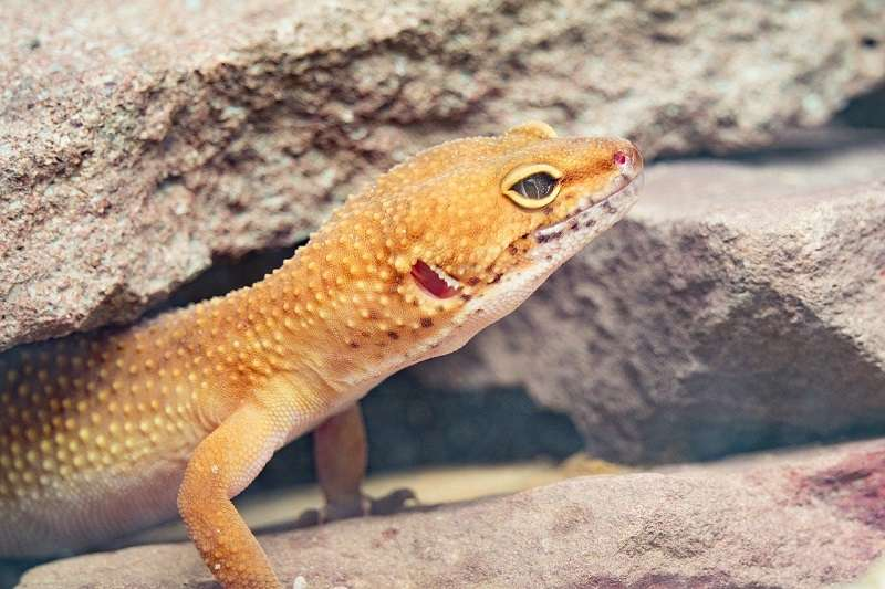 how long do leopard geckos live in captivity