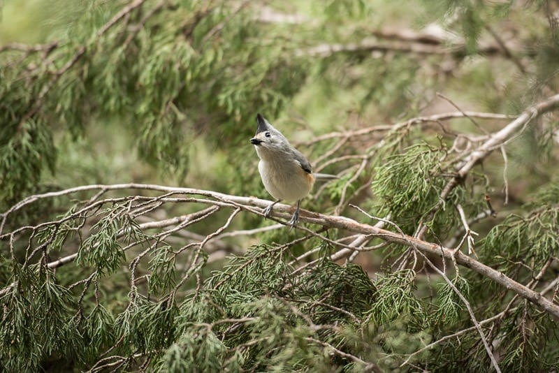 Tufted titmouse in Texas Hill Country