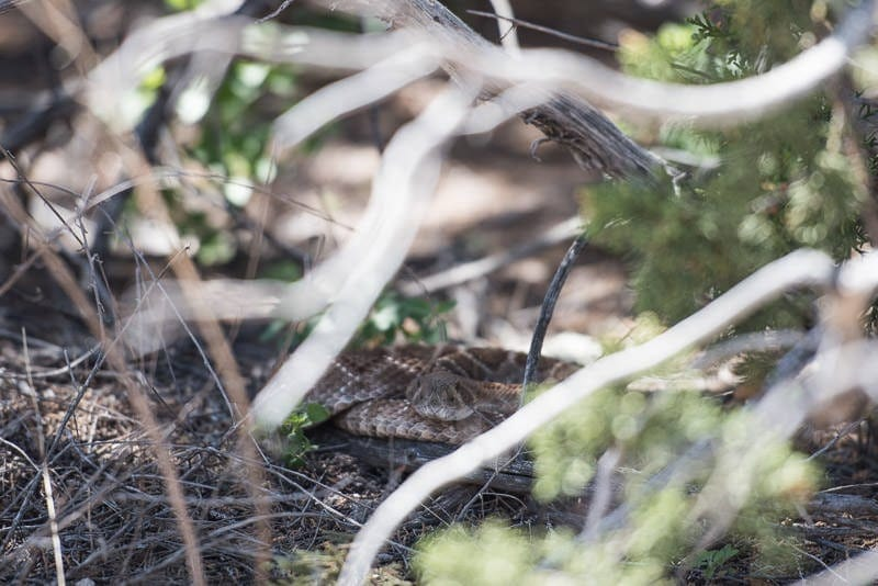 Rattlesnake hiding in the bushes that crossed the trail in front of us on the way back to our RV