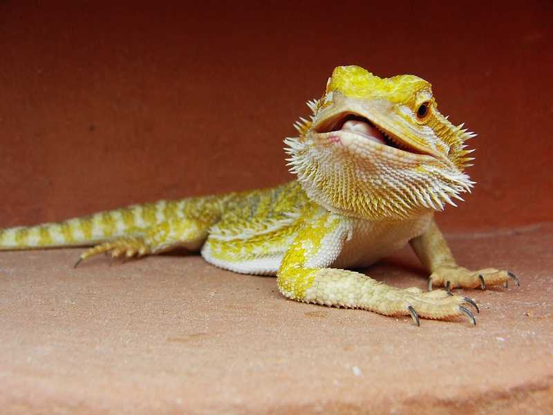 What Insects Can Bearded Dragons Eat