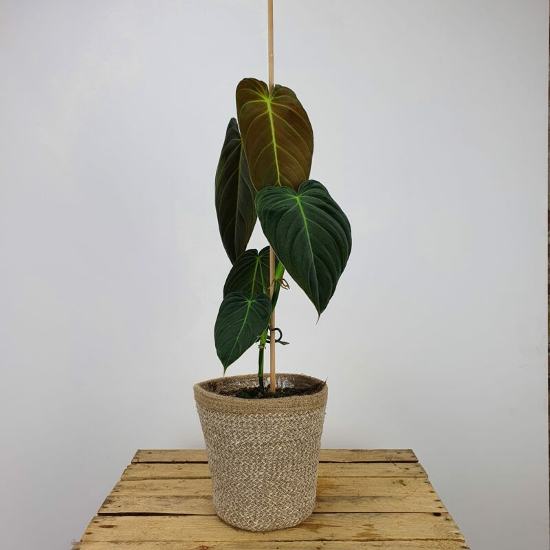 Philodendron melanochrysum