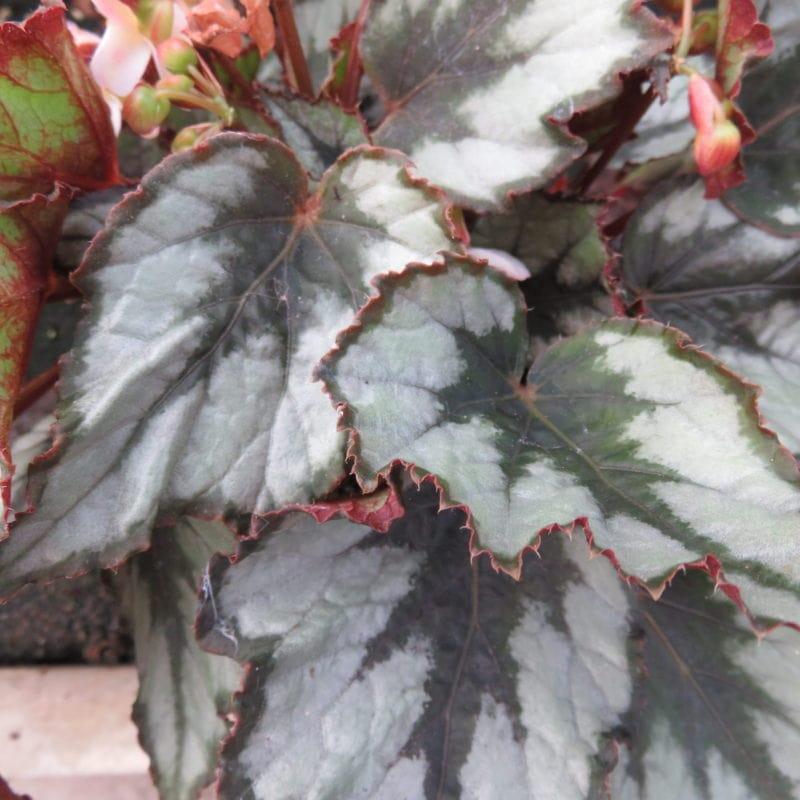 Begonia 'Helen Tuppel'