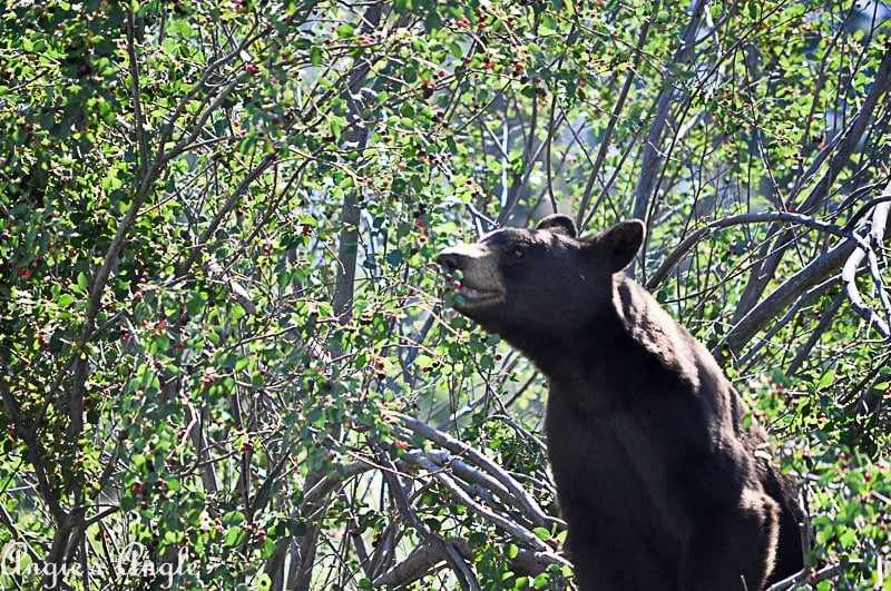 2018 Catch the Moment 365 Week 28 - Day 195 - Bear at Bison Range