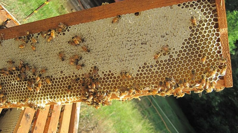 How do honey bees make honey and store for winter? Inside wax capped cells.