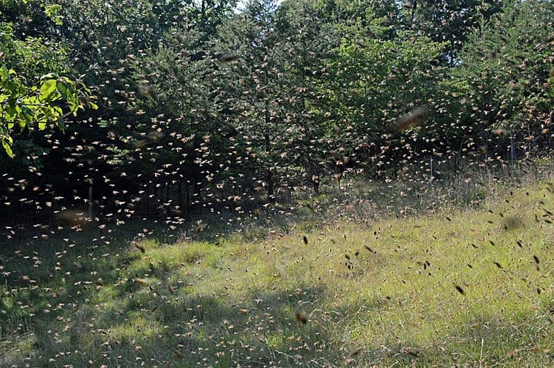 Catching a swarm of bees is a delight for beekeepers. You can catch bee swarms in a tree or a honey bee swarm trap.