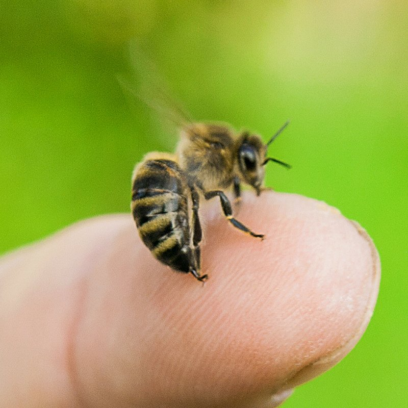 worker honey bee on someones finger in the process of stinging