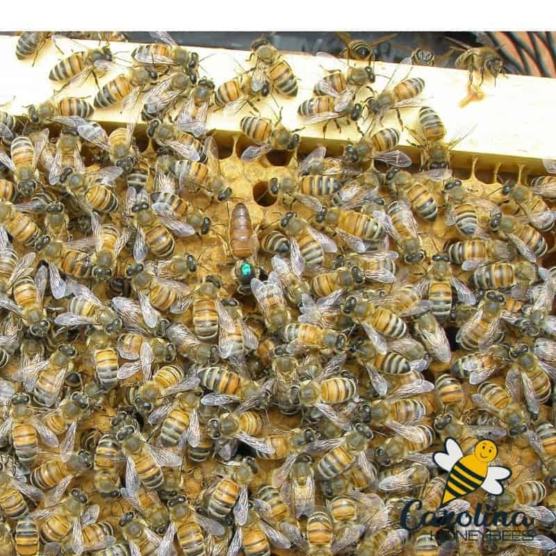 Marker queen bee and mass of workers on a frame of honeycomb-the queen bee looks similar