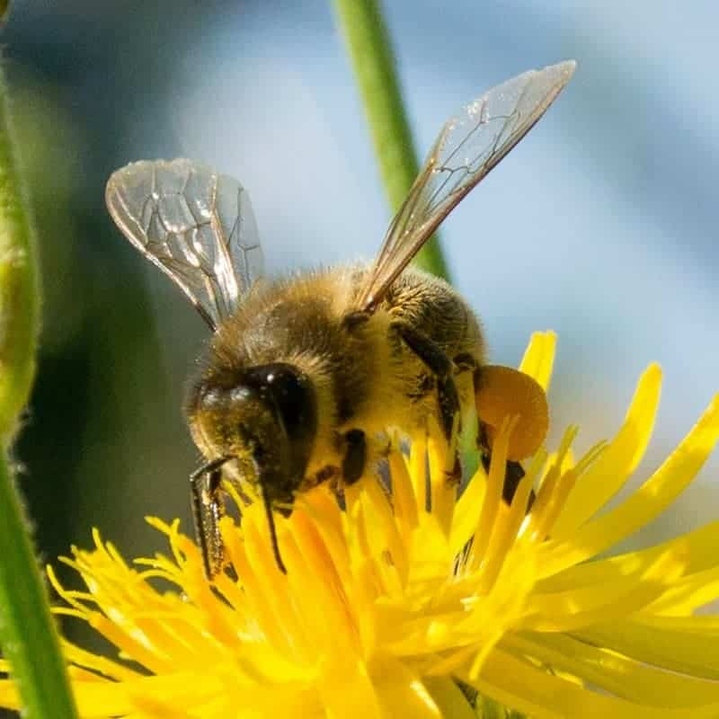 Close up of honey bee gathering pollen from a flower. Type of honey bee is a worker