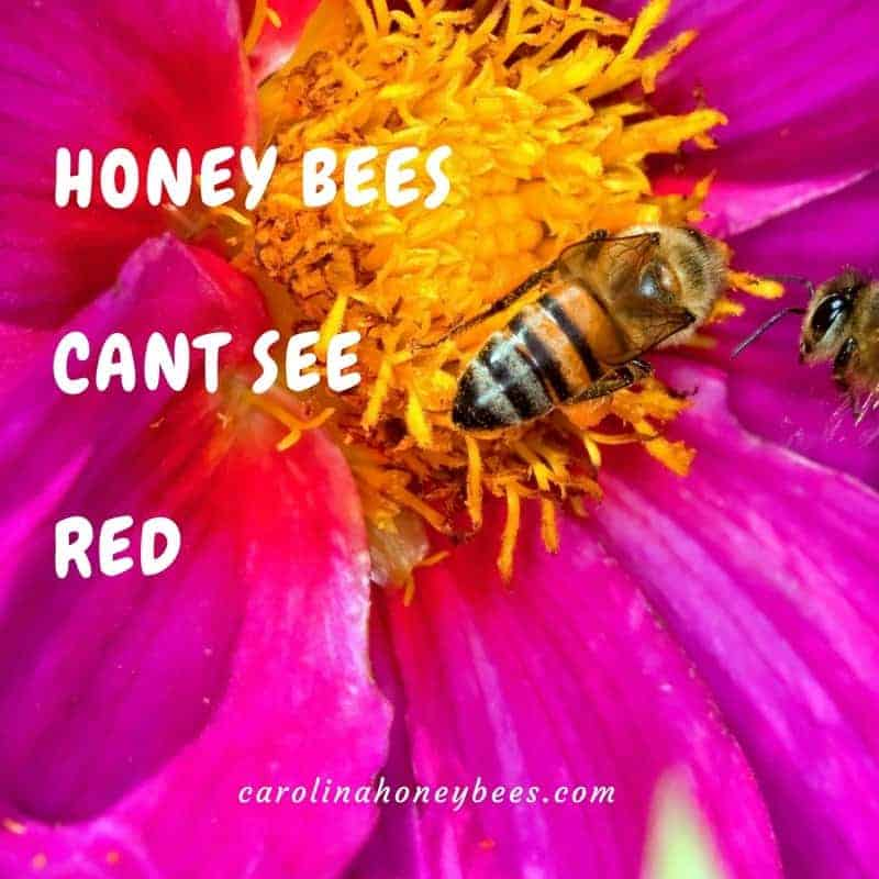 Honey bee facts: Honey bee on red flower. Bees cant see the color red.