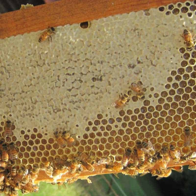 honey bees covering honeycomb with fresh beeswax cappings