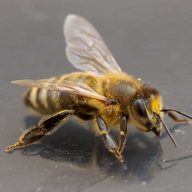 The role of the worker bee in the hive. Female workers do all the jobs of the hive.