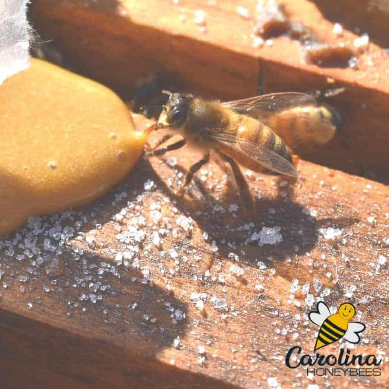 honey bee eating pollen patty