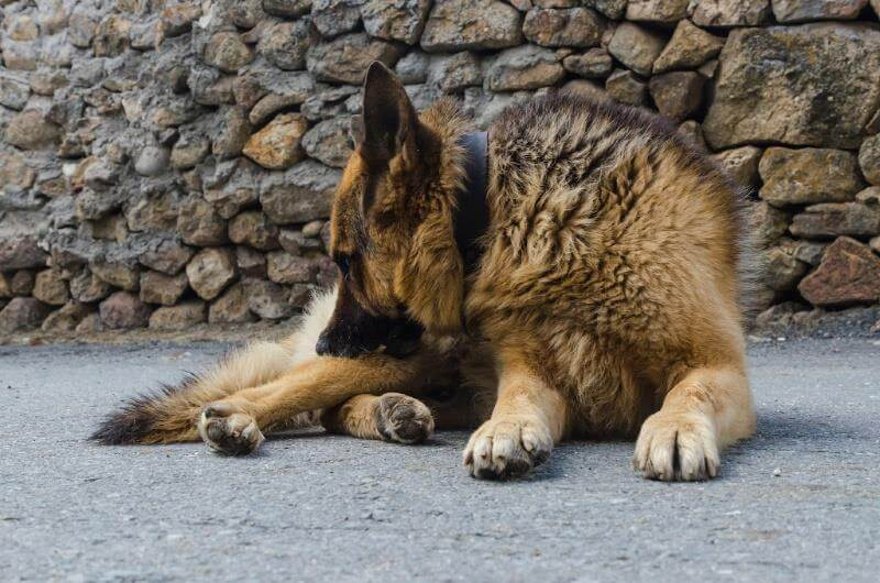 german shepherd dog allergies