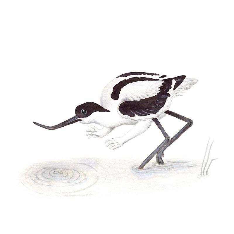 Inktober 2017, Mar Villar, ilustracion de paves, ilustracion de pajaro, ilustracion a tinta, avocet, bird illustration, avoceta, Recurvirostra avosetta