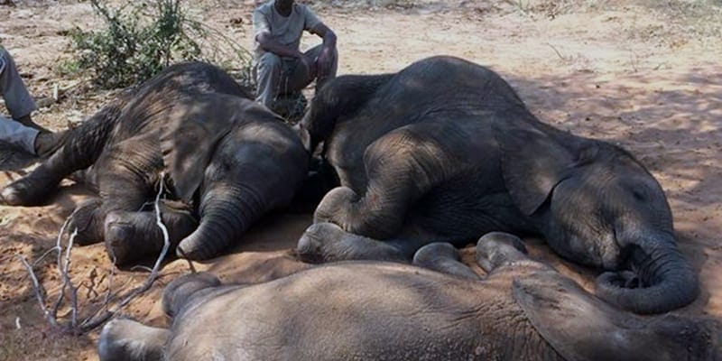 Mass death of Elephant in Africa in mysterious causes