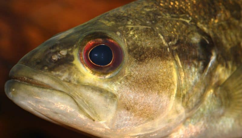 What Do Bass Eat? 7 Surprising Baits that Work Every Time 2