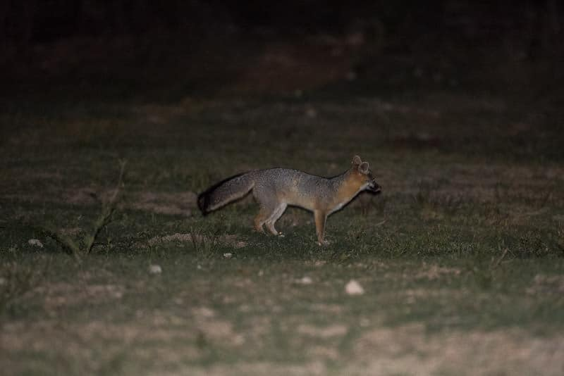 Fox like creature that followed buddy around at night
