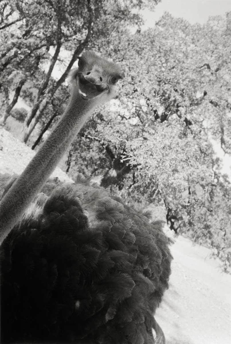 Jenny Samspon - Hello, Ostrich