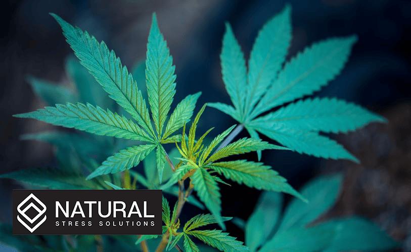 Male VS Female Cannabis Plants