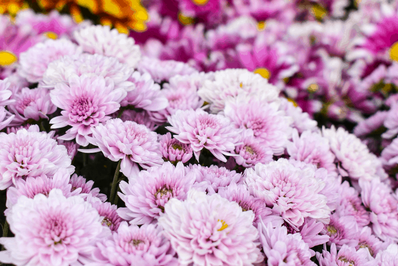 Add some beautiful color to your flower gardens this fall. Try these Six Fantastic Fall Flowers To Plant In Your Garden. These fall flowers and plants can withstand those chilly nights and bring vibrant colors to any fall day!  #gardeningtips #fallgardening #fallflowers #fallplants #gardenideas