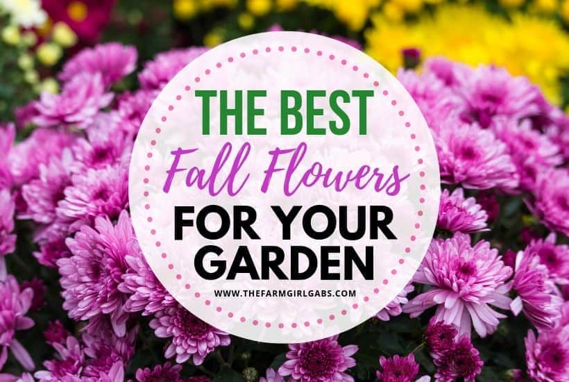 Six Fantastic Fall Flowers To Plant In Your Garden