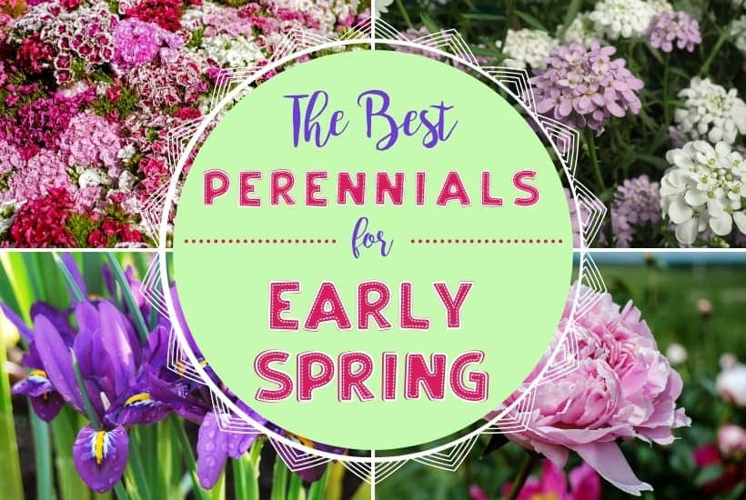 The Best Perennial Flowers for Early Spring