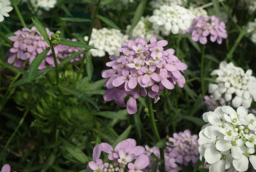 Ready to start your spring garden? Perennials are the perfect way to enhance your landscaping year after year. Here are the Best Perennial Flowers for Early Spring. #perennials #gardening #gardeningtips