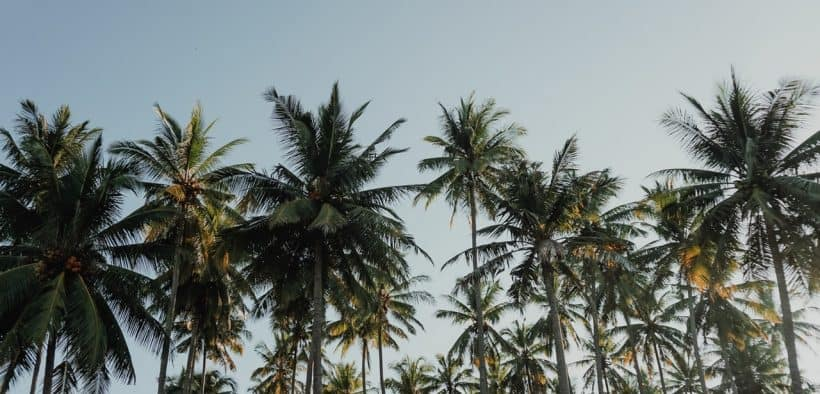how-to-climb-a-coconut-tree