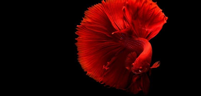 How-to-Take-Care-of-a-Betta-Fish