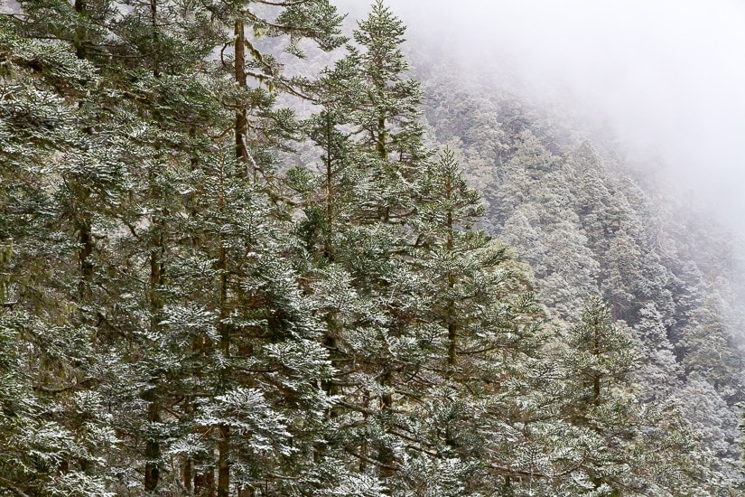 A forest with snow on the trees in the high mountains of Taiwan in winter