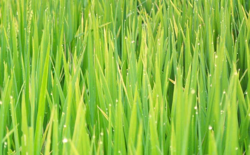Champ de riz à Ubud