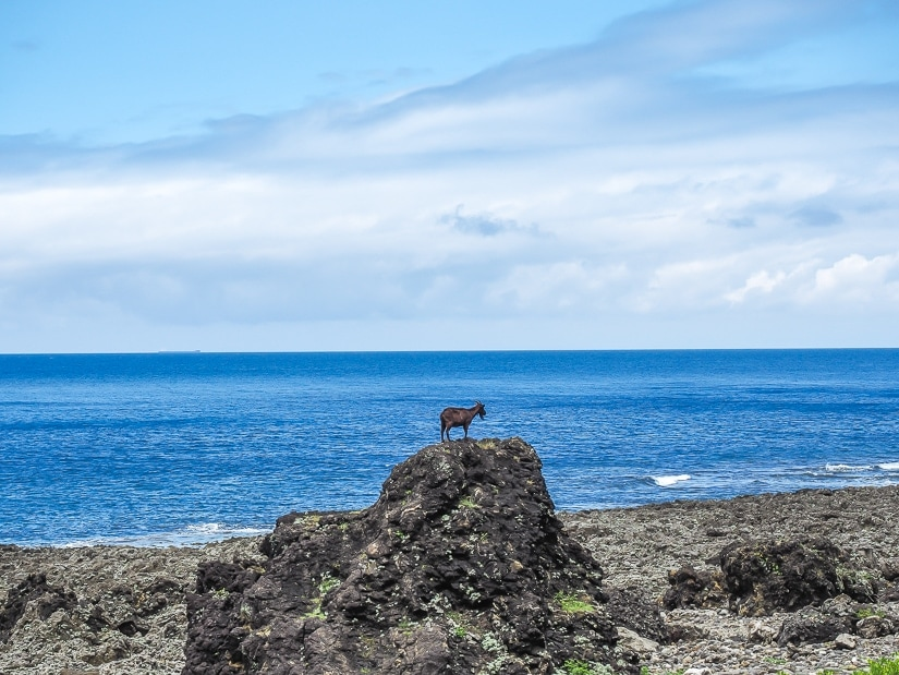 Goat, Orchid Island