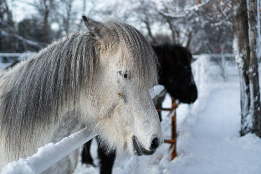 Fridheimar Greenhouse horses | Golden Circle, South Iceland