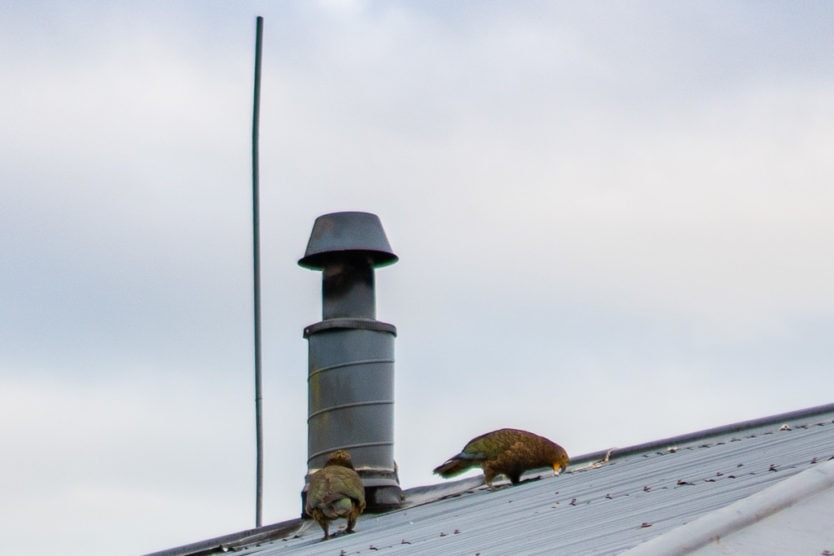 Kea Birds on top of a roof trying to pull it apart