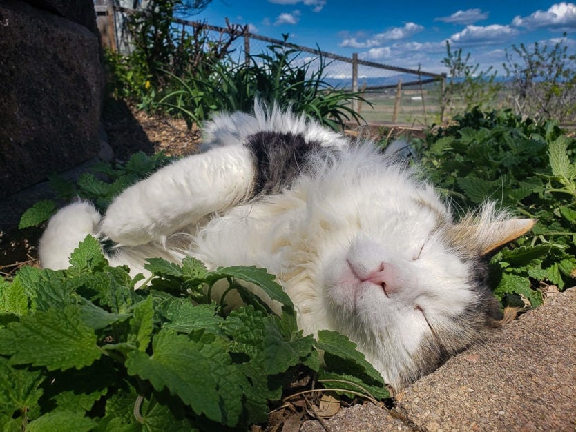 cat laying in catnip