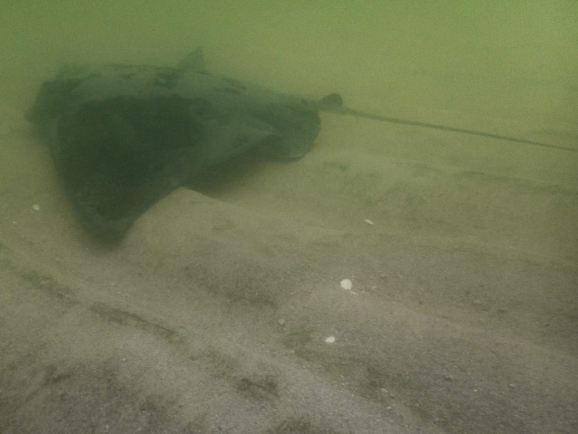 stingray swimming under a kayak in the shallow water of bark bay in abel tasman national park