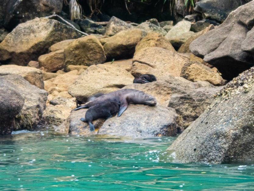 fur seal pup nursing while sitting on the rocks on the coast of abel tasman national park