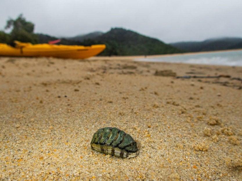Snakeskin chiton on the sand of Onetahuti beach with kayaks