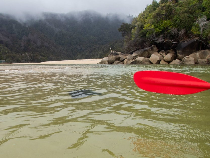 stingray in the shallow water of bark bay in abel tasman national park